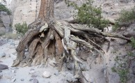 Exposed roots show signs of extreme erosion